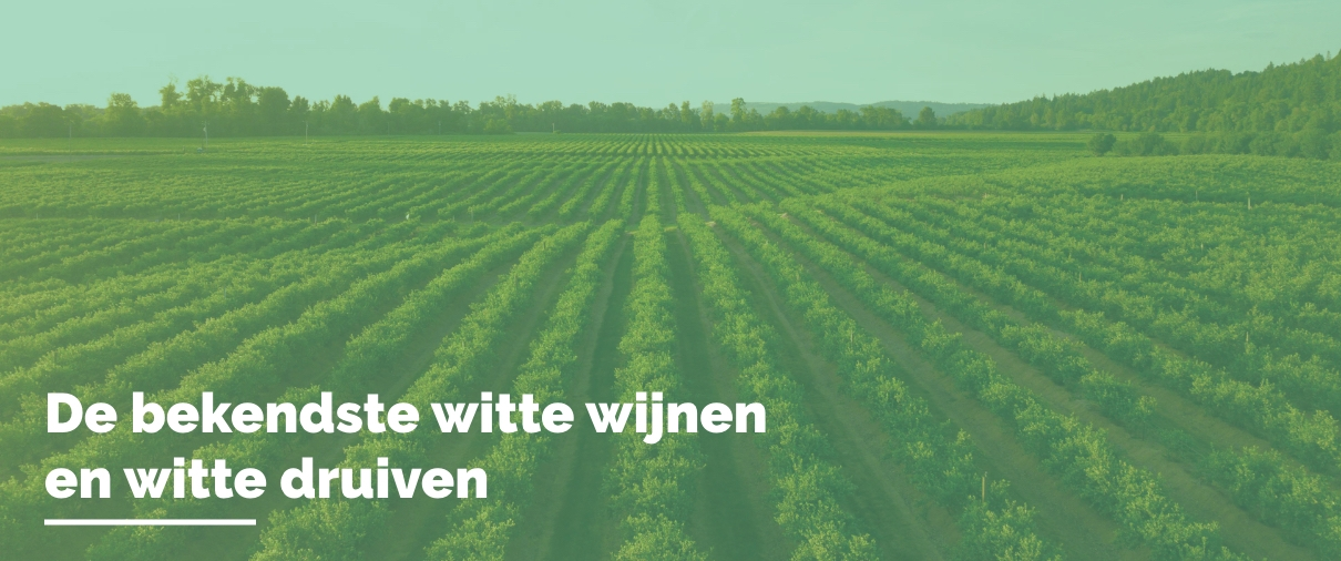 Bekendste witte wijnen en witte druiven